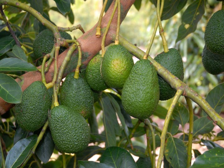 The orchard has two popular varieties of avocado - Hass and Reed